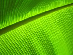 Close up of the beautiful banana leaf :)