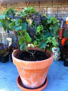 "the sensation plant of 2015 - a brand new tabletop grapevine, that stays dwarf and produces champagne-sized purple grapes."" The 'Pixie' grape is perfect for patios, balconies, and containers. Fruit Garden, Edible Garden, Vegetable Garden, Garden Plants, Backyard Plants, Growing Fruit Trees, Growing Grapes, Growing Plants, Grow Ginger From Root"