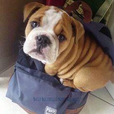 The Bulldog Pup Personality Baby English Bulldogs, French Bulldog Puppies, Animals Beautiful, Cute Animals, Fat Dogs, Boston Terrier Love, Aggressive Dog, Dog Behavior, Dog Breeds