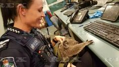 Baby koala bear found in arrested woman's handbag, Queensland, Australia - 07 Nov 2016  A policewoman holds a baby koala after police discovered it in an arrested woman's handbag in Queensland  7 Nov 2016
