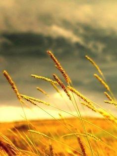 Wheat Nature.