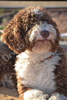 #Perroaguaespañol #Massaltet Valkiria del Massaltet (Onna) Friend 2, Mans Best Friend, Doggies, Dogs And Puppies, Spanish Water Dog, Lagotto Romagnolo, Doodle Dog, Labradoodles, Dog Photos