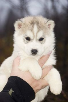Husky puppy..love <3..will have one of these someday