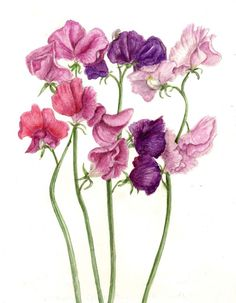 Sweet-peas!  Favorite flower that my Daddy grew for me every year. Kimberly's birth month flower. I love them!