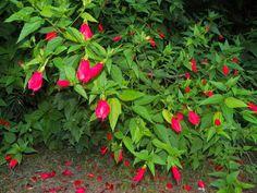 Malvaviscus arboreus - malvavisco - flores e folhas comestíveis - propagação por estacas