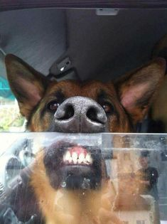 Go away from my car... This face says it all. Everything you want to know about GSDs. Health and beauty recommendations. Funny videos and more