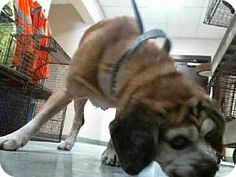 Tampa, FL - Pug Mix. Meet GIZMO, a dog for adoption. http://www.adoptapet.com/pet/10360250-tampa-florida-pug-mix