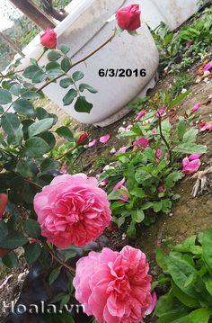 Hoa hồng leo Ngọc Khuê 39 sở hữu hương thơm đậm đà quyến rũ. Hoa nở sai và quanh năm kể cả hè nóng hay đông lạnh. Dáng hoa duyên dáng. Vào hè hoa nở xoè hơn, số cánh hoa cũng ít hơn - - Hình ảnh chụp tại Trang trại Hoa cây cảnh Thăng Long