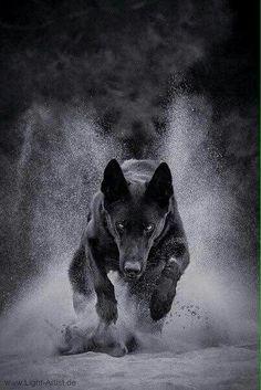 Amazing German Shepherd