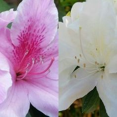 #pink and #white #azalea now in bloom all over the backyard.  #Sydney #Australia #backyard #flower #nofilter #flowers #nofilters #azaleas #authorsofinstagram