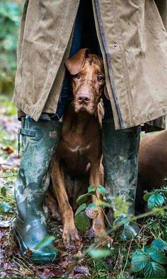z- Vizsla Taking Shelter from Rain Beautiful Dogs, Animals Beautiful, I Love Dogs, Cute Dogs, Animals And Pets, Cute Animals, Tier Fotos, Weimaraner, Hunting Dogs