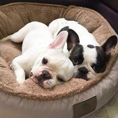 French Bulldog Brothers #frenchbulldogpuppy #boxerpuppy