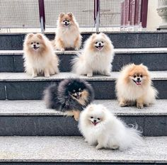 Boo, Awesome dog boo, the most beautiful dog boo in the world, boo the pomeranian - Family Cute Dogs And Puppies, Pet Dogs, Pets, Cute Little Animals, Cute Funny Animals, Cute Baby Dogs, Cute Pomeranian, Most Beautiful Dogs, Baby Animals Pictures