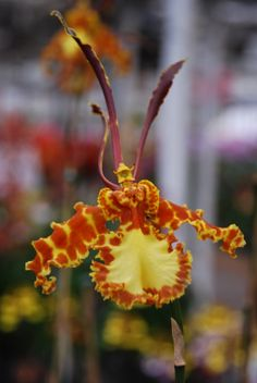 Psychopsis 'Kalihi' - See it at The Orchid Show at Botanic Garden Chicago Botanic Garden, Orchid Show, Orchidaceae, Sandy Beaches, North Shore, Botanical Gardens, Fields, Beautiful Flowers, Flora