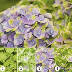 Hydrangea Magical Amethyst Blue - 1 shrub Buy online order yours now