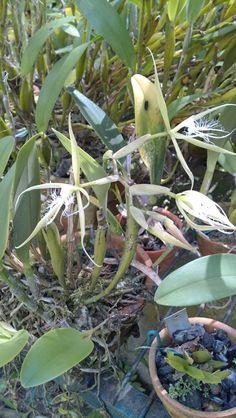 Epidendrum megalemmum