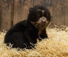 """A baby Spectacled Bear born at Tierpark Berlin """"bears"""" a striking resemblance to Paddington Bear. That's because the much-loved children's book character was based on this species, which is native to the Andes Mountains of South America. Newborn Animals, Cute Baby Animals, Animals And Pets, Cute Polar Bear, Big Bear, Polar Bears, Spectacled Bear, Brother Bear, Paddington Bear"""