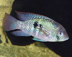 Blue Acara, Aequidens pulcher in the cichlid family. This fish can be found in Central and South America, from Panama to Colombia.