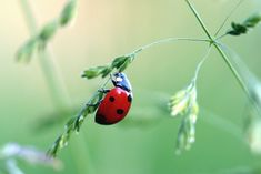 coccinelle Ladybug, Fish, Animals, Gardens, Homemade Insecticide, Exotic Fruit, Potager Garden, Best Life Hacks, Ladybugs