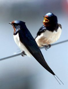 Swallows by Rondini