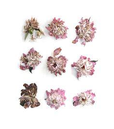 peony blossoms (mary jo hoffman)