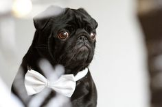 This sharp-looking pug is ready for a night on the town! Have a fancy weekend everyone! (via dapperpugs)