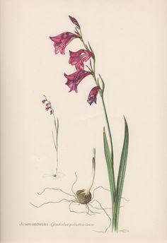 1954 Marsh Gladiolus Vintage Botanical Print by Craftissimo