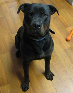 """HANDSOME & SWEET ROTTIE """"HANK"""" FOUND IN ALLIANCE/HOMEWORTH, OHIO...NOW ADOPTABLE!!! Meet Hank a Petfinder adoptable Rottweiler Dog 