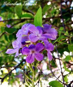 Flores rosas de la planta Corona de Novia, Duranta erecta