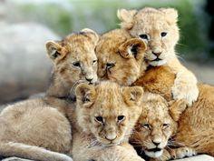 chats sauvages, les petits de la famille