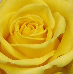 Mellow yellow rose, reminds me of Grandma Lemon Yellow, Yellow Flowers, Rose Flowers, Orange Yellow, Mustard Yellow, Blue Green, Beautiful Roses, Beautiful Flowers, Exotic Flowers