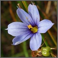Native Irish Wildflower- blue-eyed-grass (feilistrín gorm)
