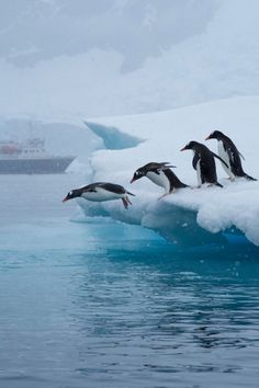 penguins take the leap off an iceberg in neko bay, antarctica | bird + wildlife photography