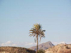 palmera del desierto de almeria