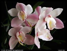Cymbidium hybrid '21'. A hybrid orchid