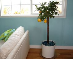 When winter comes to Italy, the lemon trees potted in terra cotta get moved indoors