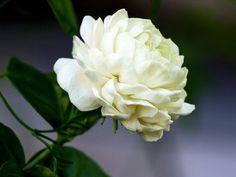 Жасмин самбак - Jasminum sambac, жасмин фото