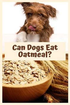 Have you wondered if dogs can eat oatmeal? Humans have been enjoying the health benefits of oatmeal for centuries. Now you can find out the best ways to include oatmeal in your dogs diet. #canmydogeatoatmeal #dogs #dogfood Dog Health Tips, Dog Health Care, Dog Dental Care, Pet Care, Oatmeal For Dogs, Dog Hot Spots, Dog Grooming Shop, Grain Free Dog Food, Dog Cleaning