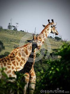 A view of a Giraffe parent with young baby giraffe in coastal woodland. Elephant Images, Young Baby, African Animals, Zebras, Giraffe, Woodland, Coastal, Felt Giraffe, Giraffes