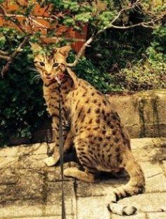 wildtafari.comSavannah Cats For Sale | Savannah Kittens For Sale