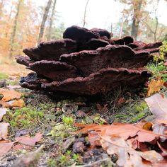 Dennenvoetzwam = phaeolus schweinitzii #paddestoel #fungi #macro #duin #dunes #netherlands #natuur #nature #mushrooms #mycology Mushroom Varieties, Weird Plants, Slime Mould, Plant Fungus, Mushroom Hunting, Mushroom Fungi, Natural, Succulents, Stuffed Mushrooms