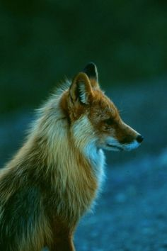 Foxes have such a wild sort of grace to them.