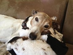 Sweet Carson in his Forever Home. So happy for you! Adoption Center, Greyhounds, Sweet, Happy, Dogs, Animals, Candy, Animales, Animaux