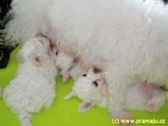 Cindy 9/2010 - Bichon Bolognese / Boloňský psík Bichon Bolognese, Dog Lady, Little Dogs, Animals, Little Puppies, Animales, Animaux, Animal, Animais