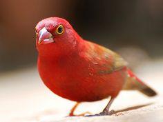 Fire Finch  (Africa)