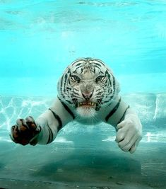 Is it true that tigers love swimming? Most Beautiful Animals, Beautiful Cats, Beautiful Creatures, Cute Wild Animals, Animals And Pets, Funny Animals, Tiger Artwork, Big Cats Art, Tiger Love