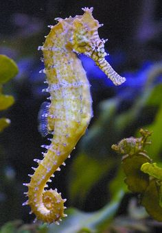 Seahorse by ~CH3CKMATE on deviantART