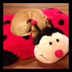 Pippy the Chiweenie #snuggleBug