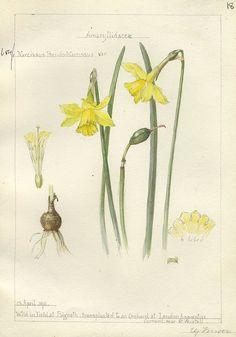 Narcissus pseudo-narcissus, Cornwall 1911