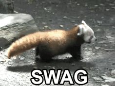 Red Pandas got swag;)